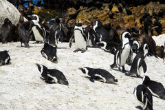 African penguin and Cape cormorant birds, South Africa Stock Images