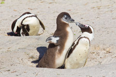 African penguin chick demanding food. Jackass penguin chick demanding food from its parent on Boulder Beach, South Africa Royalty Free Stock Photo