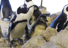 African penguin and chick jackass penguin Stock Image