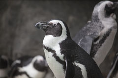 African Penguin Closeup Portrait Royalty Free Stock Photo