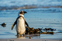 African penguin on the coast of the ocean in sunset. Stock Photography