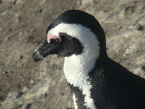 African penguin coastline. Beautiful African penguin at southern coastline Royalty Free Stock Photography