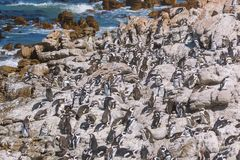 African penguin colony in Betty`s bay, South Africa royalty free stock photos