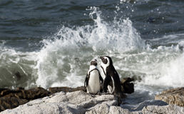 African penguin colony at Betty's Bay Western Cape South Africa. African penguins at Betty's Bay in the Western Cape South Africa Stock Photos