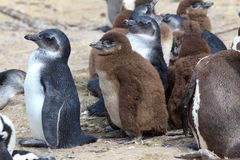 African penguin. Colony at Boulders Beach in South Africa Royalty Free Stock Photos