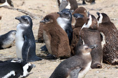 African penguin. Colony at Boulders Beach in South Africa Stock Photography