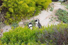 The African Penguin colony on Cape Peninsula at Boulders Beach, Simon`s Town, Western Cape Province, Cape Town district, South Afr Royalty Free Stock Photo