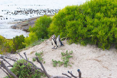 The African Penguin colony on Cape Peninsula at Boulders Beach, Simon`s Town, Western Cape Province, Cape Town district, South Afr Stock Photos
