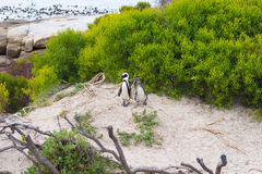 The African Penguin colony on Cape Peninsula at Boulders Beach, Simon`s Town, Western Cape Province, Cape Town district, South Afr Royalty Free Stock Images
