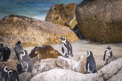 African penguin colony in South Africa. African penguin colony closeup view at Boulders beach, South Africa stock photos