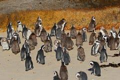 African penguin colony Stock Photos