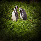 African Penguin Couple. An African Penguin couple spheniscus demersus in South Africa Royalty Free Stock Image