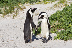 African penguin dance. Two African penguins circling each other during a mutual threat display Stock Photography