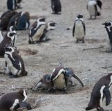 African penguin family: mother feeds her two new born babies chickes. Cape town. South Africa. African penguin family: mother with two new born babies chickes stock images
