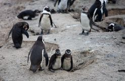 African penguin family: mother with two new born babies chickes. Cape town. South Africa. African penguin family: mother with two new born babies. Cape town stock images