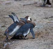 African penguin family: mother with two new born babies chickes. Feeding chickers royalty free stock photography
