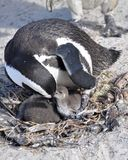 African penguin feeding its chick Royalty Free Stock Image