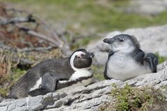 African penguin female with chick stock photography