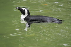 African penguin Royalty Free Stock Photo