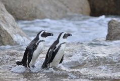 African penguin go ashore from the ocean at evening twilight. Royalty Free Stock Photo