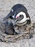 African penguin and its chicks in its nest Stock Photography