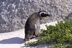 African Penguin (Jackass) Royalty Free Stock Image