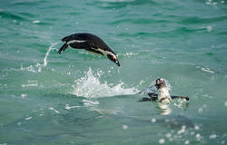 African Penguin Jumping out of water . Royalty Free Stock Images