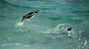 African Penguin Jumping out of water Royalty Free Stock Photography
