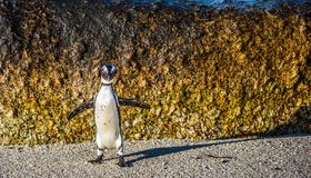 African penguin jumping from rock in sunset light. Stock Photos