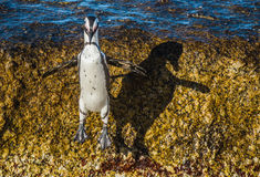 African penguin jumping from rock in sunset light. Royalty Free Stock Photos