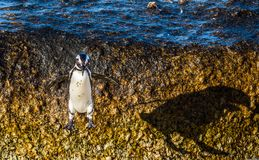 African penguin jumping from rock in sunset light Stock Image
