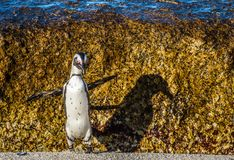 African penguin jumping from rock in sunset light. Royalty Free Stock Images