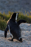 African penguin in morning sun Stock Photo