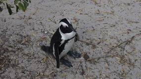 African penguin  in the natural environment. Cape Town, South Africa Stock Photos