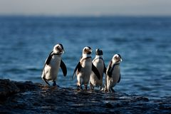 African penguin. Northerly penguin, african birds, life on the bech, penguin on the Boulders beach, African penguin Royalty Free Stock Images