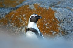 African penguin. Northerly penguin, african birds, life on the bech, penguin on the Boulders beach, African penguin Royalty Free Stock Photos