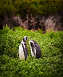 African Penguin Pair Royalty Free Stock Photos