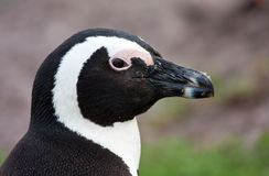 African Penguin portrait Royalty Free Stock Photo