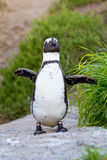 African penguin portrait. African or Jackass penguin walking among dunes, South Africa Stock Image