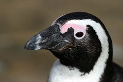 African penguin portrait. Showing its strong beak Stock Image