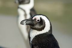 African penguin portrait Royalty Free Stock Image