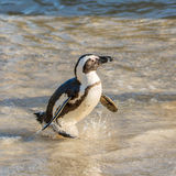 African Penguin Portrait Royalty Free Stock Images