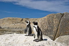African Penguin on rock. African Penguin - Spheniscus demersus. A full grown African penguin, also known as a penguin because of their mating sound. Picture royalty free stock photo