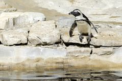 African penguin on rock Royalty Free Stock Image