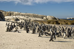 African penguin's home Stock Photography