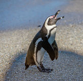 African penguin  on the sandy beach in sunset light. Stock Image