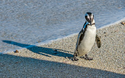 African penguin  on the sandy beach in sunset light. Royalty Free Stock Photo