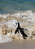 African Penguin at the Sea Shore Stock Photos