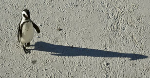 African penguin and shadow. Stock Photography