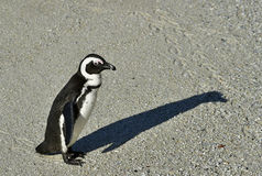 African penguin and shadow. Royalty Free Stock Photo